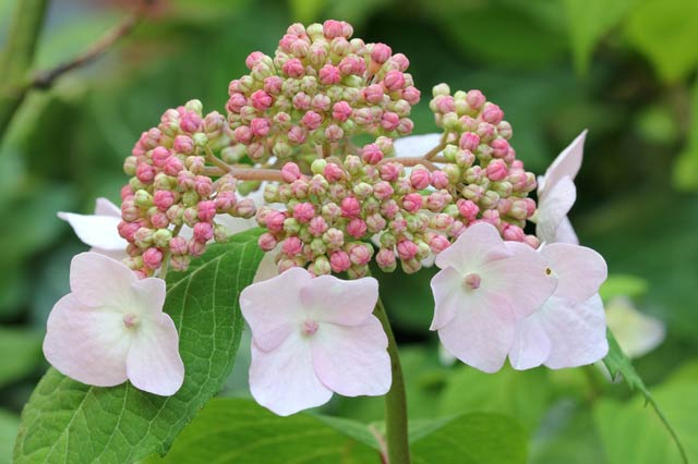 hydrangea and typical brittany flowers